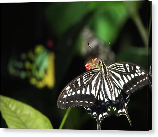 Butterfly Perfect Canvas Print by JAMART Photography