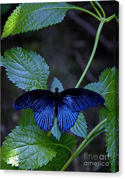 Butterfly Place Canvas Print