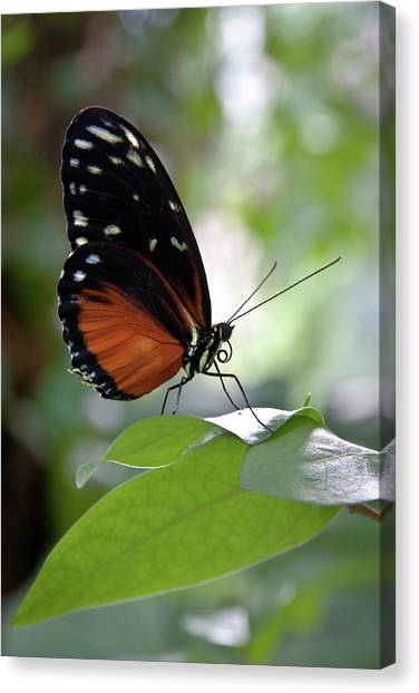 Butterfly Royalty Canvas Print