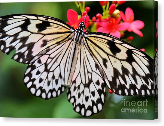 Butterfly Spectacular Canvas Print