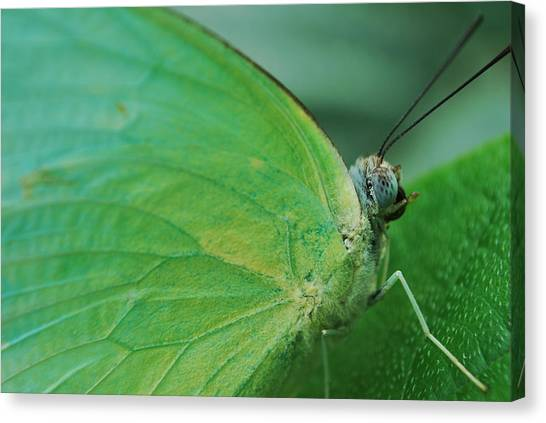 Butterfly Canvas Print by Susette Lacsina
