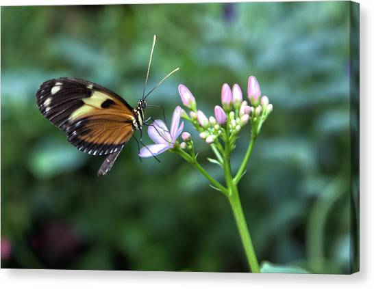 Butterfly4 Canvas Print