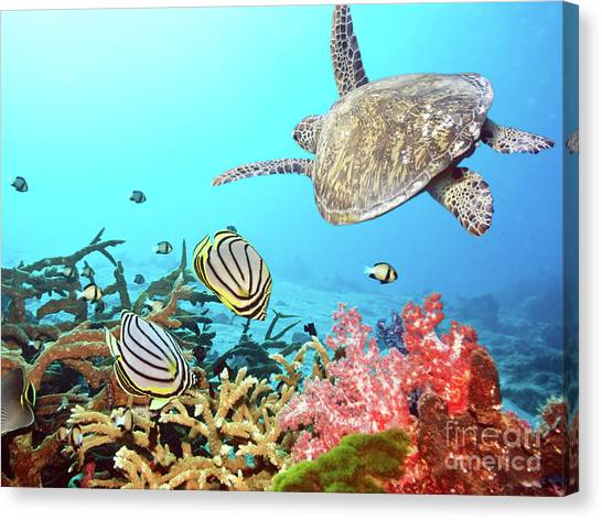 Scuba Diving Canvas Print - Butterflyfishes And Turtle by MotHaiBaPhoto Prints