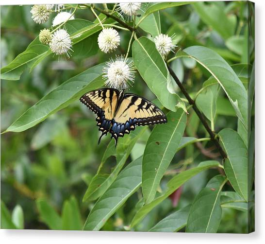 Button Willow Honeyball And Tiger Swallowtail Butterfly Canvas Print by rd Erickson