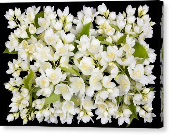 Buttonhole From White  Jasmine Flowers Canvas Print by Aleksandr Volkov