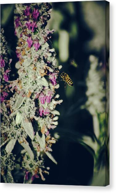 Canvas Print featuring the photograph Buzzing In My Lamb's Ear by Jason Coward