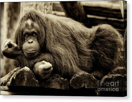 Bw Orangutan Canvas Print