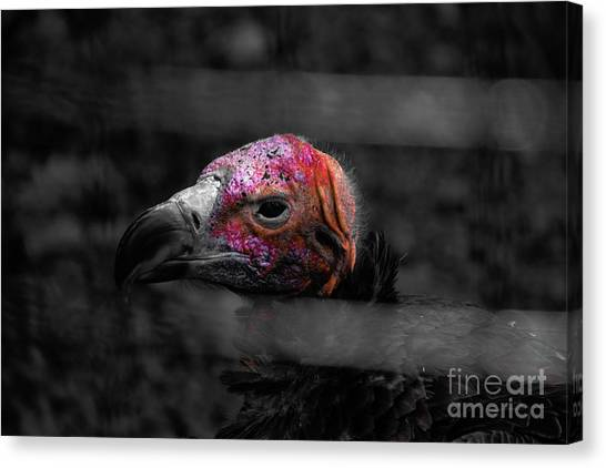 Bw Vulture - Wildlife Canvas Print