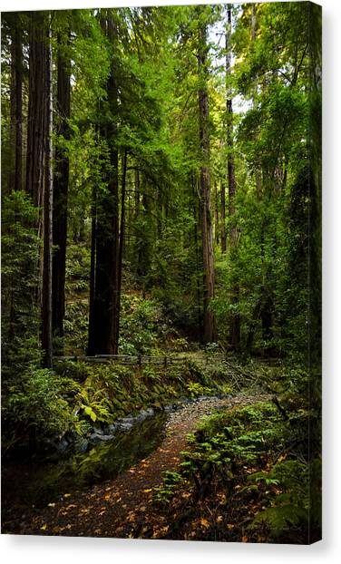By The Stream In Muir Woods Canvas Print