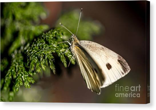 Cabbage Butterfly On Evergreen Bush Canvas Print