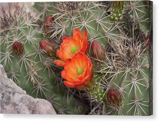 Cactus Blossoms Canvas Print