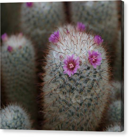 Cactus Flowers Canvas Print by Denise McKay