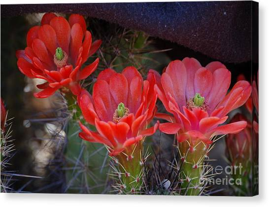 Cactus Flowers Canvas Print