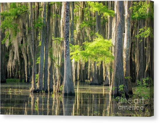 Caddo Swamp 1 Canvas Print