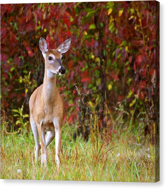 Cades Cove Doe Canvas Print