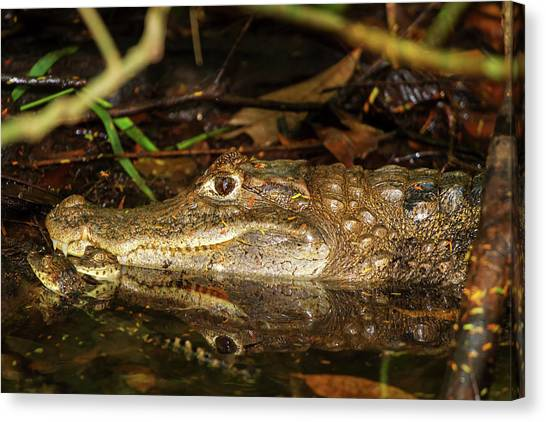 Caiman Mom Canvas Print