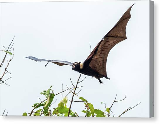 Cairns Fruit Bat Canvas Print