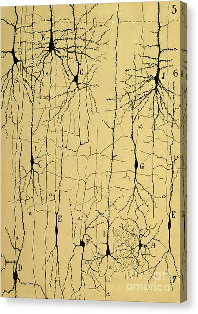 Biology Canvas Print - Cajal Drawing Of Microscopic Structure Of The Brain 1904 by Science Source