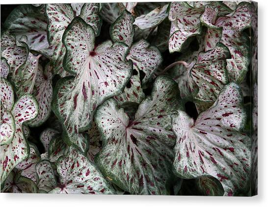 Caladium Leaves Canvas Print