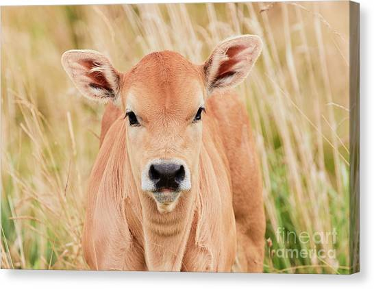 Canvas Print featuring the photograph Calf In The High Grass by Nick Biemans