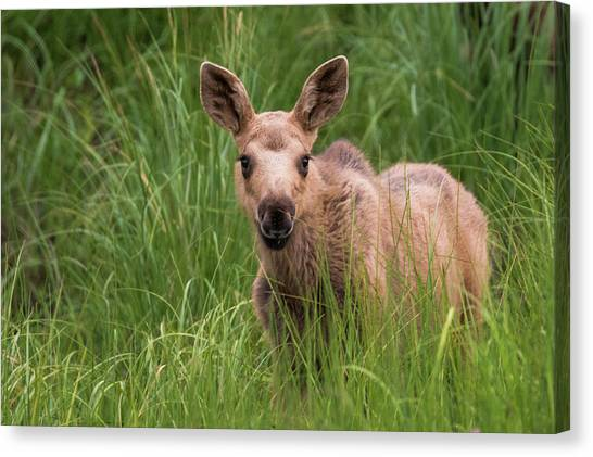 Calf Moose In The Grass Canvas Print