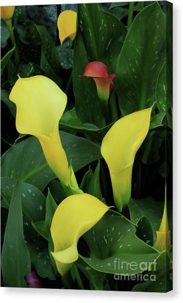 Cali Lilies Canvas Print by David Shaffer