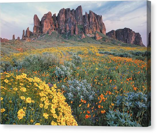 Sonoran Desert Canvas Print - California Brittlebush Lost Dutchman by Tim Fitzharris