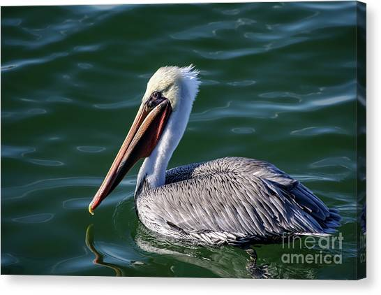 California Brown Pelican In Late Summer Canvas Print