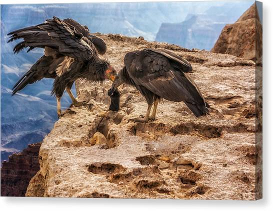 Canvas Print featuring the photograph California Condors Inspecting A Sock by Claudia Abbott