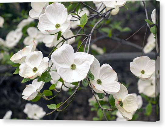 California Dogwood Canvas Print