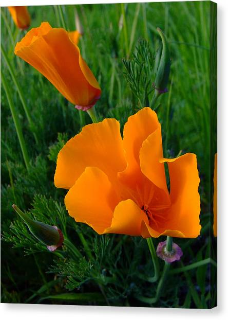 California Happy Cow Fodder Canvas Print