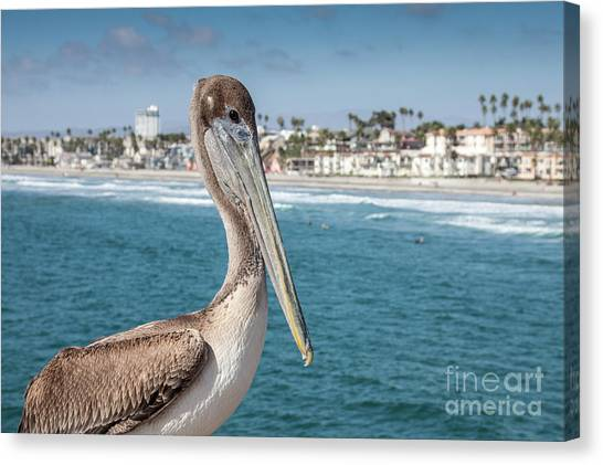 California Pelican Canvas Print