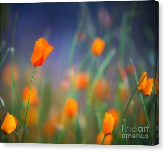 California Poppies 2 Canvas Print