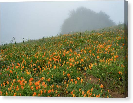 California Poppies On Volcan Mountain Canvas Print