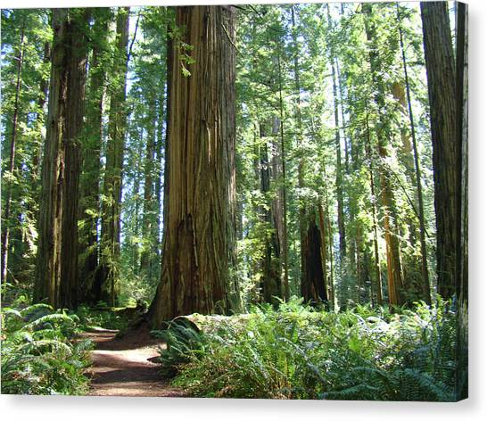 Redwood Forest Canvas Print - California Redwood Forest Trees Art Prints by Baslee Troutman