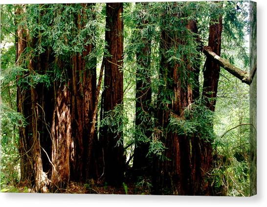 California Redwoods Canvas Print by Sonja Anderson