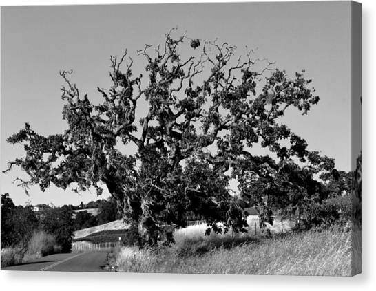 California Roadside Tree - Black And White Canvas Print