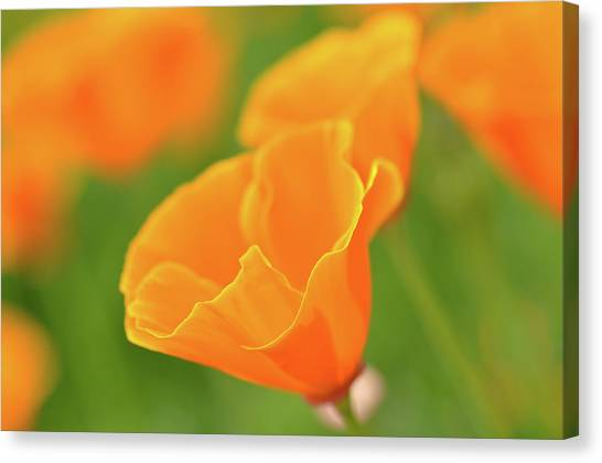 California Spring Poppy Macro Close Up Canvas Print