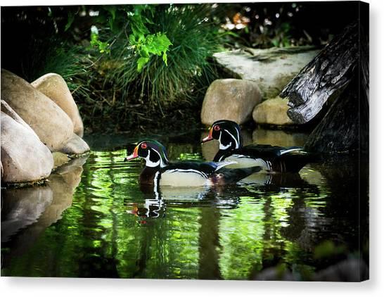 Calm Waters - Wood Ducks Canvas Print