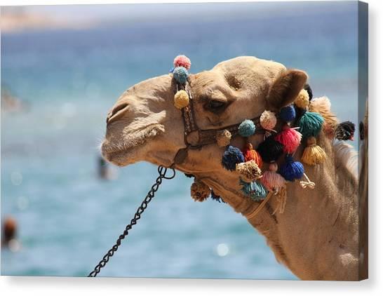 Camel By The Sea Canvas Print by Tawfik W Dajani