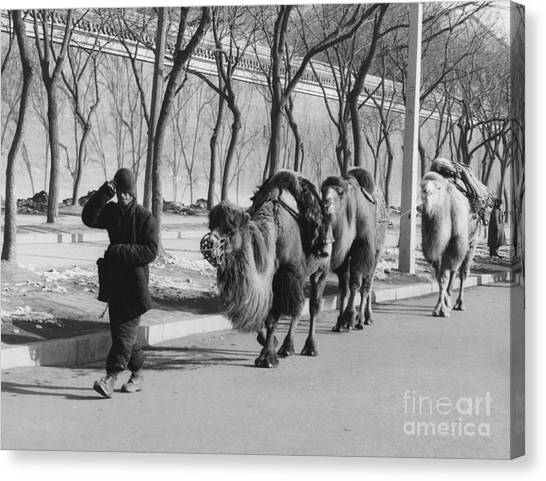 Caravan Canvas Print - Camel Caravan, China 1957 by The Harrington Collection