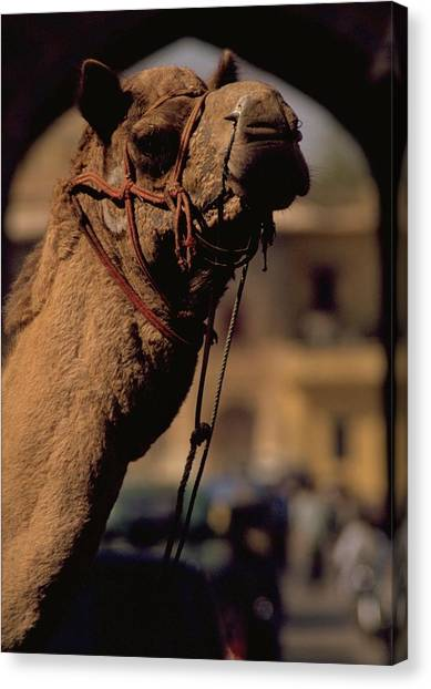 Red Travelpics Canvas Print - Camel In India by Travel Pics