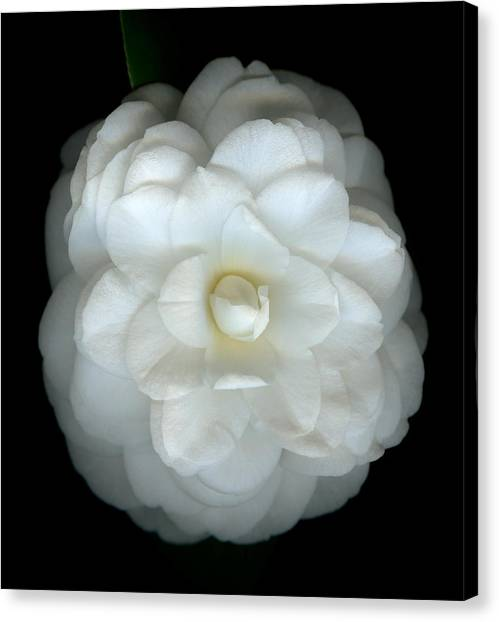 Camellia Canvas Print - Camellia Cream by Marsha Tudor