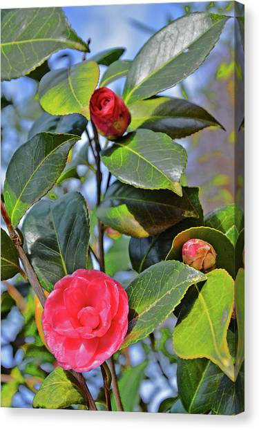 Camellia Canvas Print - Camellia Japonica. by Andy Za