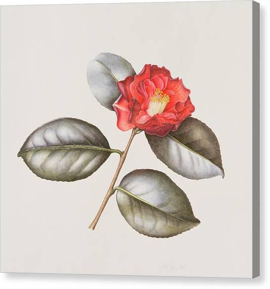 Camellias Canvas Print - Camellia Japonica by Margaret Ann Eden