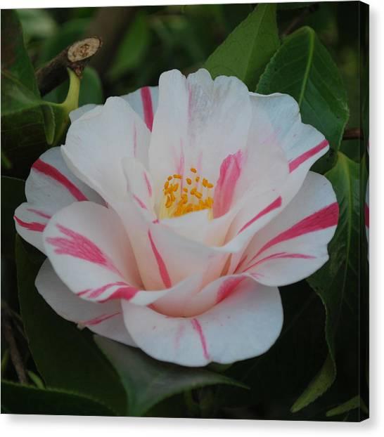 Camellia Canvas Print by Linda Sramek