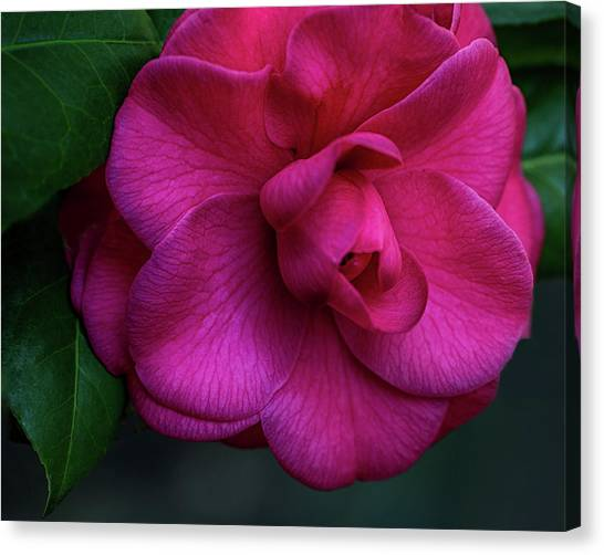 Camellia Passion Canvas Print