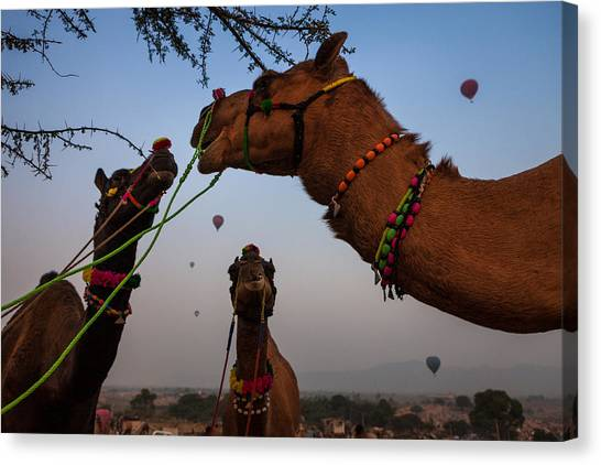 Camels And Balloons Canvas Print