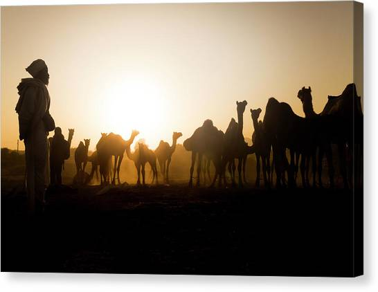 Camels At Pushkar During Sunset Canvas Print