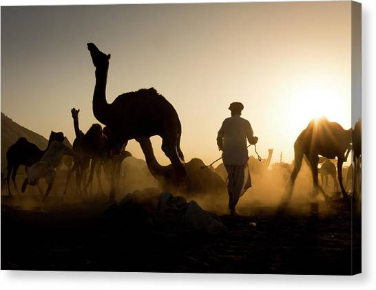 Camels During Sunset At Pushkar Canvas Print
